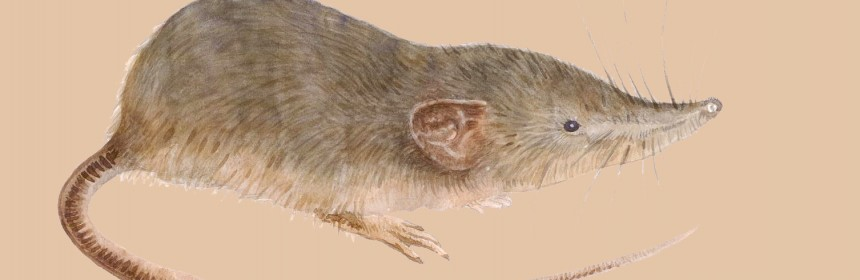Andaman_white-toothed_shrew
